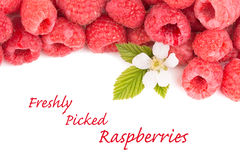 Freshly picked raspberries with a flower and leaves Royalty Free Stock Image