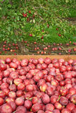 Freshly Picked Red Apples In A Wooden Box Stock Photo