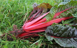 Freshly picked red chard Stock Photos