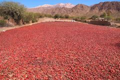 Red peppers are dried in the Argentine sun royalty free stock photography