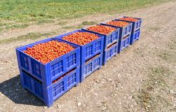 Freshly picked red tomatoes in big plastic boxes on the field. stock photos