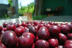 Freshly picked ripe red cherries in a wooden crate Stock Photography
