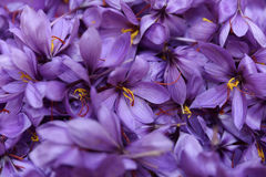Freshly picked saffron flowers Royalty Free Stock Photo
