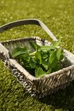 Freshly picked Sage leaves, Salvia officinalis, in a wicker basket Royalty Free Stock Image