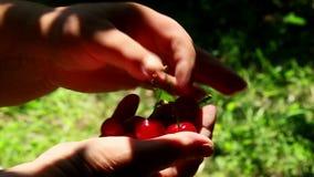 Freshly picked sour cherries stock video