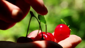 Freshly picked sour cherries Stock Photography