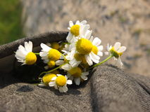 Freshly picked spring flowers of chamomile. Royalty Free Stock Images
