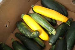 Freshly Picked Squash and Zucchini Royalty Free Stock Image