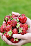Freshly Picked Strawberries Royalty Free Stock Photo