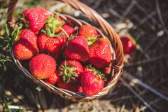Freshly picked strawberries in a basket on a sunny day stock photography