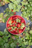 Freshly Picked Strawberries Royalty Free Stock Photos