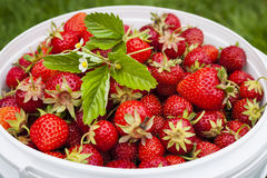 Freshly picked strawberries Royalty Free Stock Images