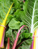 Freshly Picked Swiss Chard Stock Photography