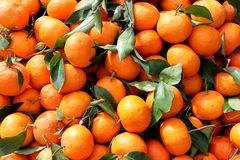 Freshly picked tangerines. Agricultural background, a freshly picked tangerines Royalty Free Stock Image