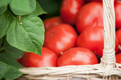 Freshly picked tomatoes Royalty Free Stock Photos