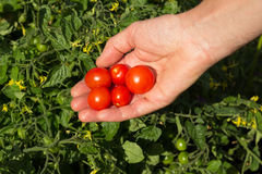 Freshly Picked Tomatoes Royalty Free Stock Images