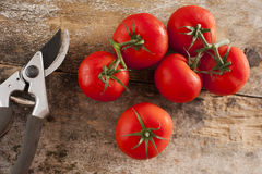 Freshly picked tomatoes off the vine. Freshly picked ripe red tomatoes off the vine lying on an old rustic wooden garden table with a pair of pruning shears or Stock Photos