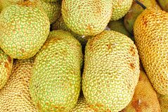 Freshly picked tropical jackfruits Royalty Free Stock Photos