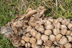 Freshly picked walnuts Stock Image