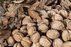 Freshly picked walnuts Stock Photo