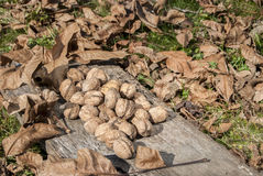 Freshly picked walnuts Stock Images