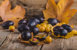 Freshly picked and washed plums Stock Image