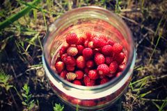 Freshly picked wild strawberries. Stock Photography