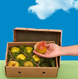 Freshly picked Williams (Bartlett) pears in box Stock Image