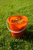 Freshly Picked Yellow Chantarelle Mushrooms. In a bucket Royalty Free Stock Images