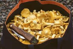 Freshly picked yellow chanterelles in a basket.