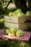 Freshly pickled ripe organic apples in wooden crate on green grass royalty free stock images