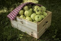 Freshly pickled ripe organic apples in wooden crate on green grass stock image