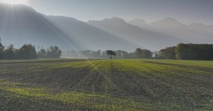Freshly planted agricultural field with small plants and a mountain landscape behind with lone tree and sunlight and sunbeams. In the Maienfeld region of stock photography