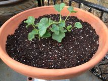 Freshly planted cantaloupe. This is last years' newly planted cantaloupe in a terra-cotta planter stock photo