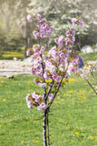 Freshly  planted  cherry tree in a spring garden Royalty Free Stock Photos
