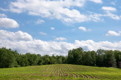 Freshly Planted Crop Rows Lead to Clouds, Blue Sky and Copy Spac Royalty Free Stock Photos