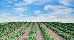 Freshly planted farm field in rows Stock Photos