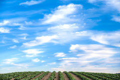 Freshly planted farm field in rows Royalty Free Stock Images