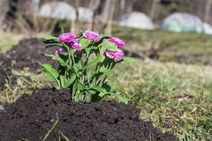 Freshly planted flowers in a black excavated soil Royalty Free Stock Photos