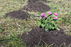 Freshly planted flowers in a black excavated soil Stock Photography