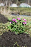 Freshly planted flowers in a black excavated soil Stock Photo