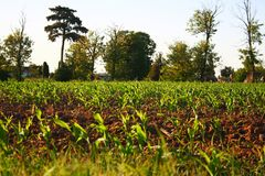 Freshly planted greens sprouting. Freshly planted greens in soil Royalty Free Stock Images
