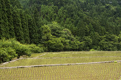 Freshly planted paddy field Royalty Free Stock Image