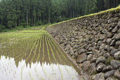 Freshly planted paddy field Royalty Free Stock Photo