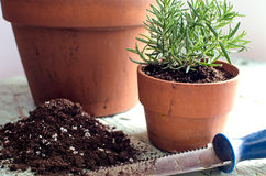 Freshly planted rosemary. In a pot on a rustic table Royalty Free Stock Photo