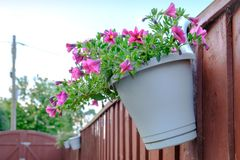 Trio of freshly planted hanging baskets seen attached to the top of a boundary fence. These freshly planted small flowers are hanging in plastic, recycled Stock Photo