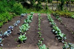 Freshly Planted Vegetable Garden with Cabbage. An organic, heirloom, freshly planted, vegetable garden with green and purple cabbage, radishes, brussel sprouts stock image