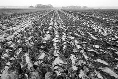 Freshly plowed land in the netherlands. Freshly ploughed land in holland seen closeup Royalty Free Stock Photography