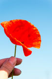 Freshly plucked red poppy Stock Photos
