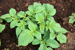 Freshly Potato Plants Royalty Free Stock Photography